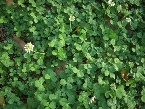 4-leaf clovers might be here...