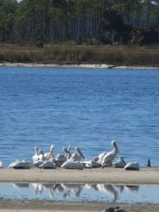 #St.MarksRefugec.JanGodownAnnino  - we lucked into white pelicans, too!